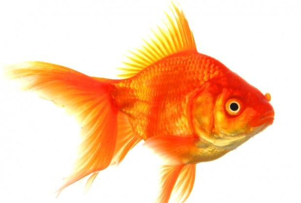 Invasive giant goldfish found in lake tahoe if you want for Big gold fish