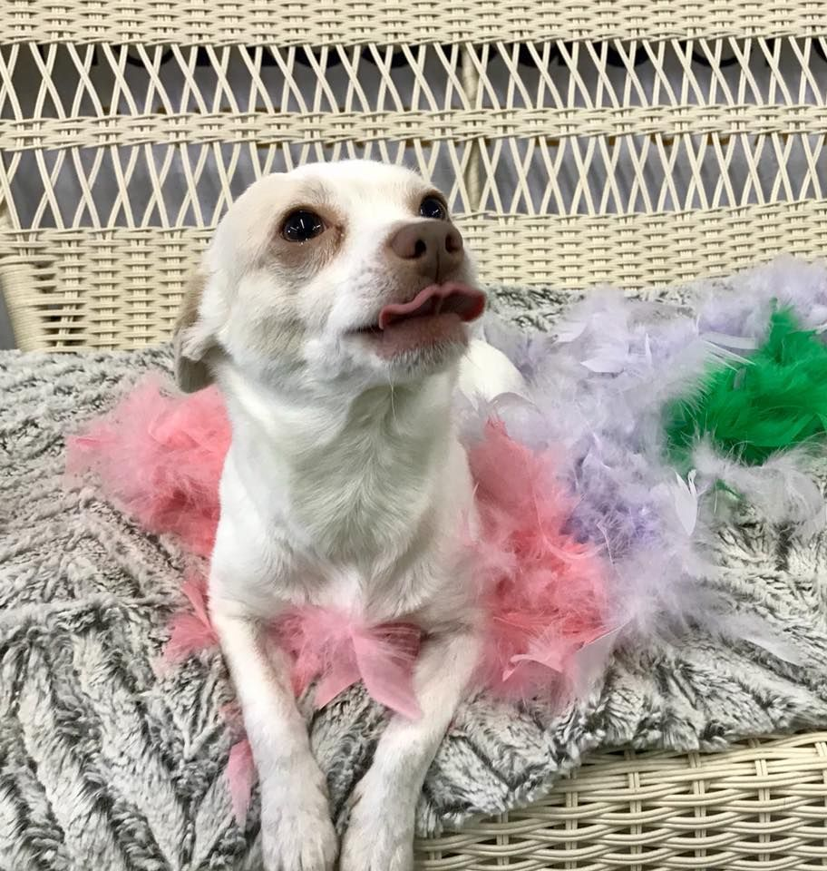 Chihuahua Dog For Adoption In Plymouth Mn Adn 783403 On
