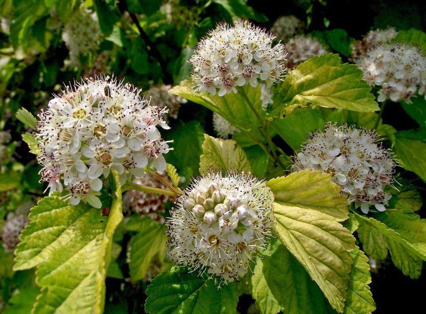 Pecherznica Kalinolistna Plants