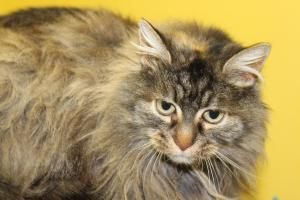 Krissy Is An Adoptable Maine Coon Cat In Harrisonville Mo Please Contact The Shelter Monday Saturday 10 To 5 For More Information A Check It Out Maine