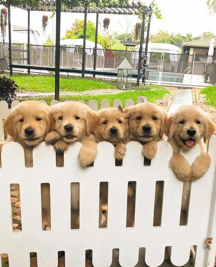 Five Golden Babies Goldenretriever Baby Animals Cute Baby Animals Cute Dogs