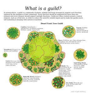 Guild Info Graphic Permaculture Gardening Fruit Tree Garden Food Forest Garden