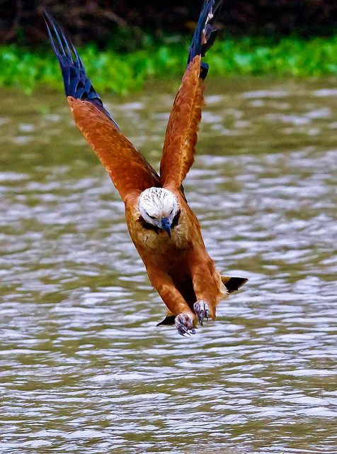 """Brazil Black Collared Hawk Diving (by masaiwarrior on Flickr) """"When you have the hawk as a spirit animal, you may have an inclination towards using the power of vision and intuition in your daily life. The hawk totem provides wisdom about seeing situations from a higher perspective."""""""