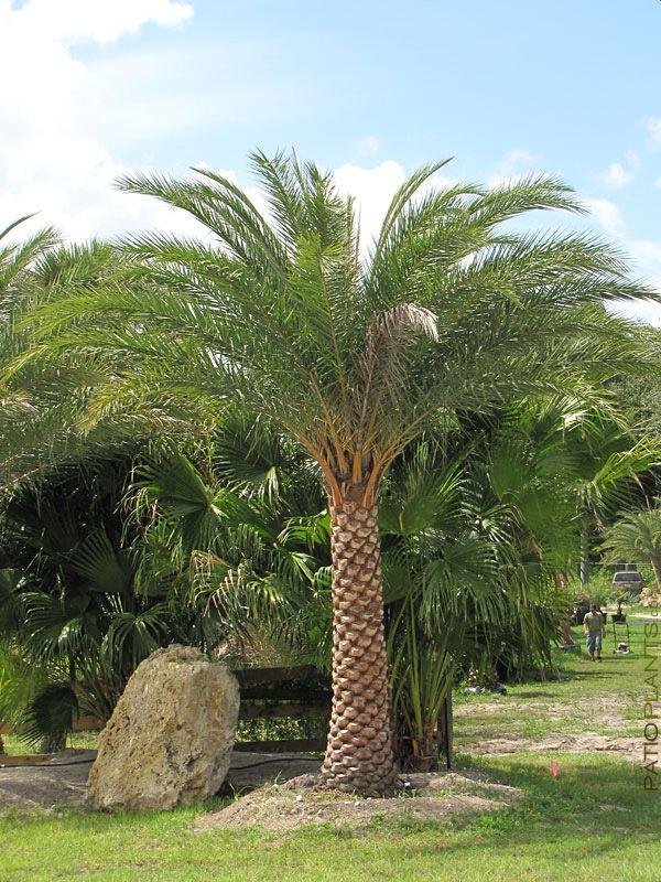 Colorful Indian Date Palm Tree Phoenix Sylvestris, xd