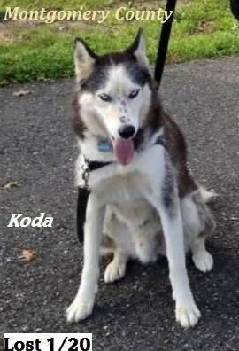 Lost Dog Montgomery County Koda Male 5yr Old Husky Went