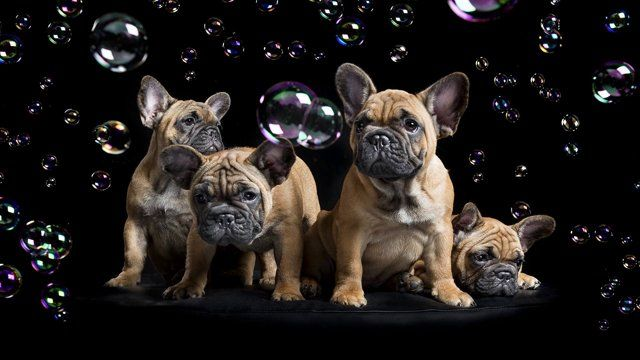 This Is Short Behind The Scenes Clip Of A French Bulldog Portrait