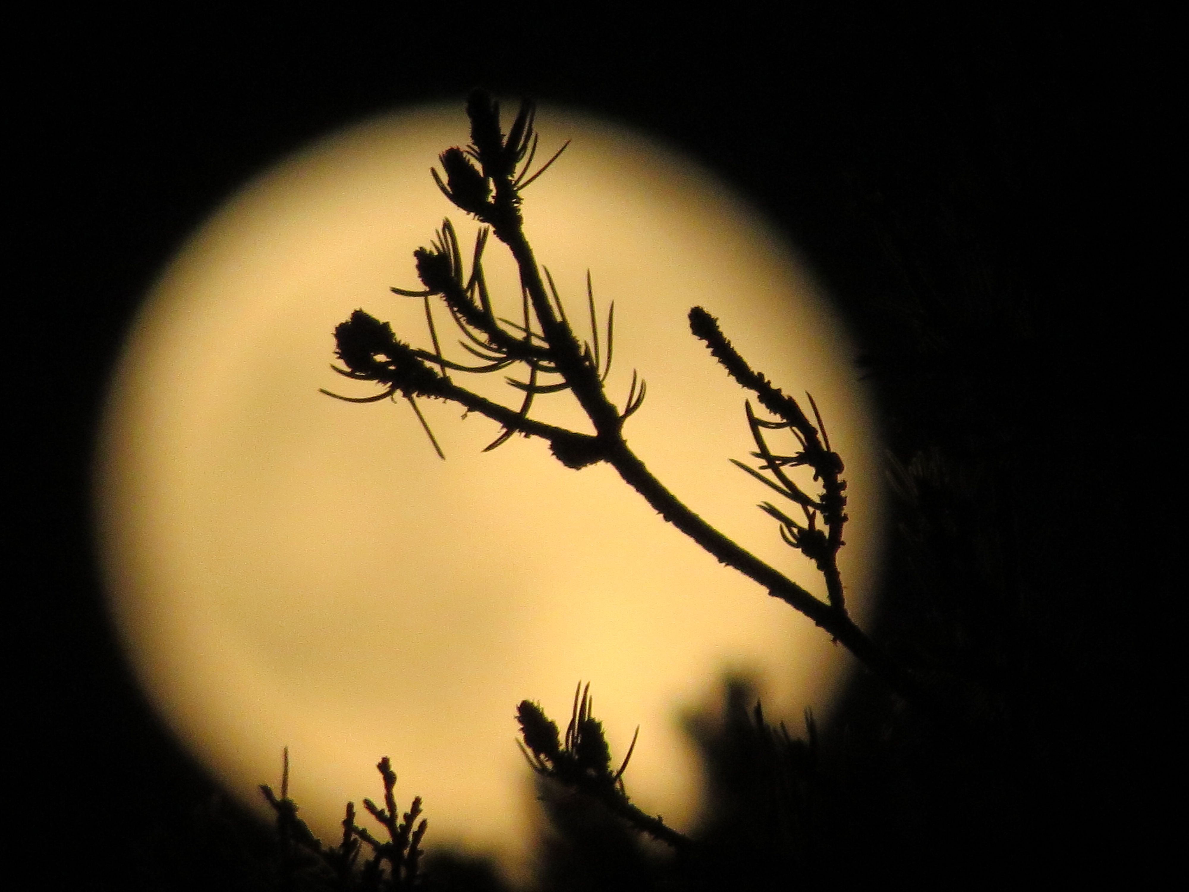 Pinyon Pine branch in front of the Super Moon July 12, 2014