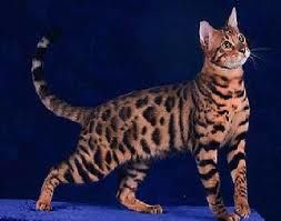 California Spangled Cat Slightly Raised Tail But Gently Curved Something Has Caught The Cat S Interest Bengal Cat Bengal Kittens For Sale Asian Leopard Cat