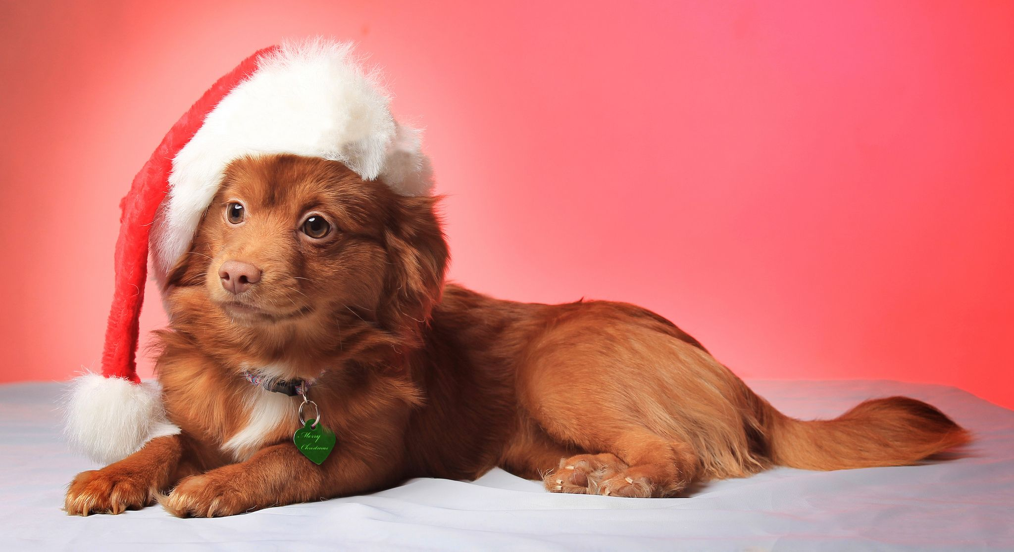 Christmas Puppy Holiday Dogs Christmas Puppies Pictures Christmas Dog Cute Animals Puppies