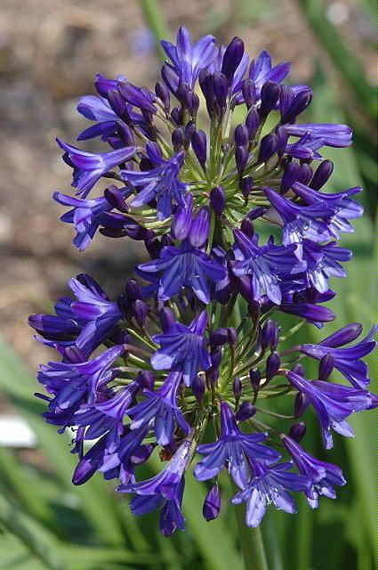 New Agapanthus Northern Star Uk Raised Garden Perennial Plant In