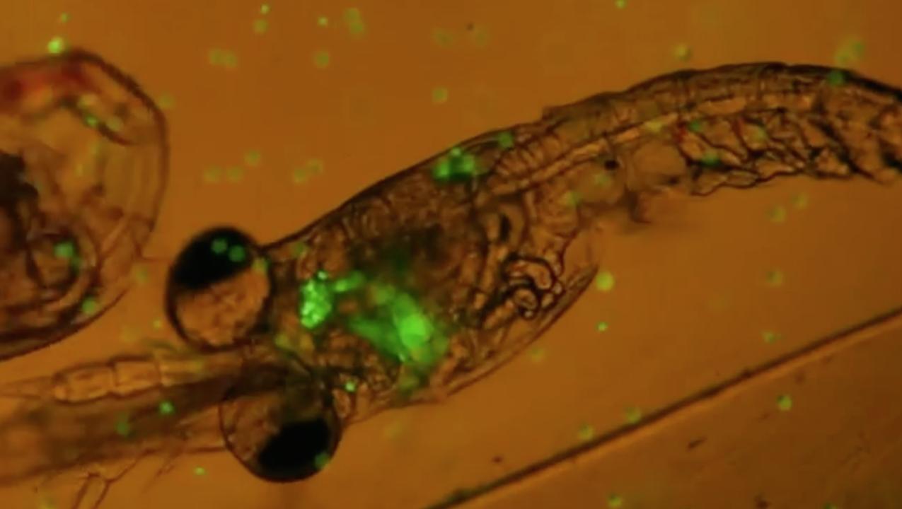 Hämmästyttävä video. Plankton syö muovia.