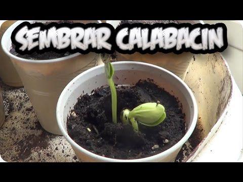 Como Sembrar Calabacin O Zapallito En Casa Cultivo De Calabaza Como Cultivar Calabazas Plantar Calabazas