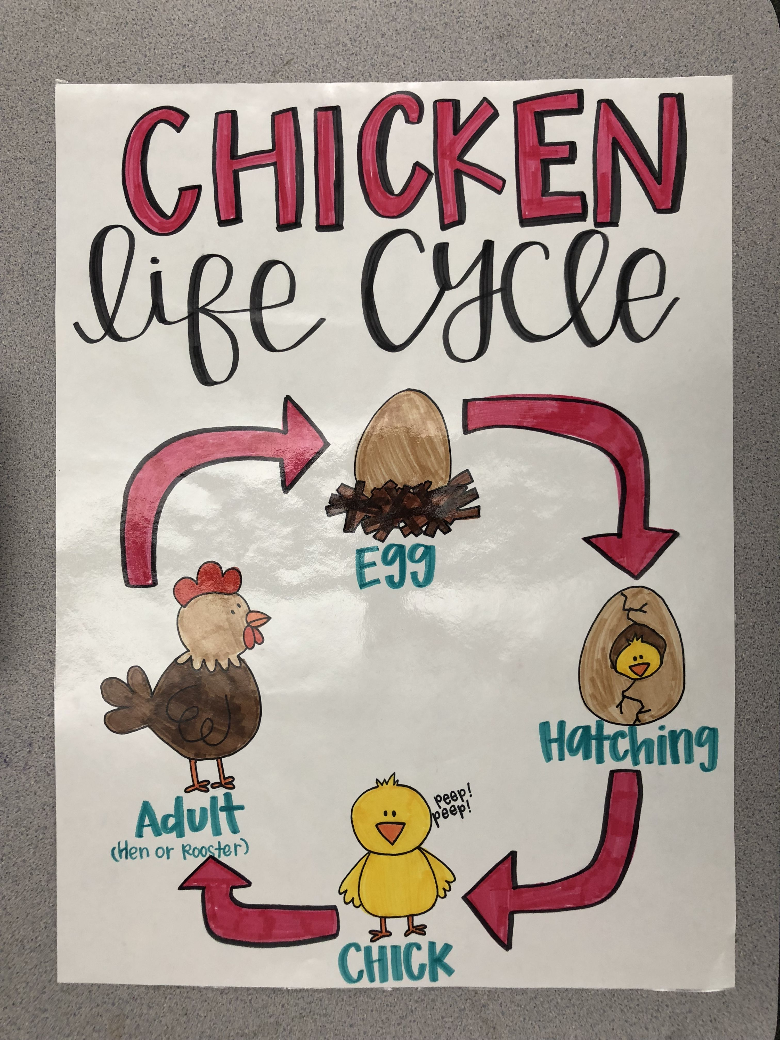 Life Cycle Of A Chicken Anchor Chart 1st Grade