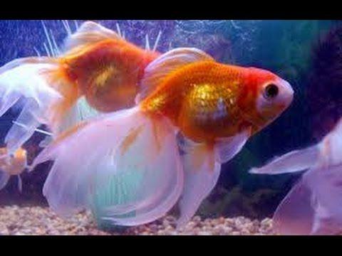 C mo cuidar peces ornamentales bailarinas goldfish y for Criadero de peces goldfish
