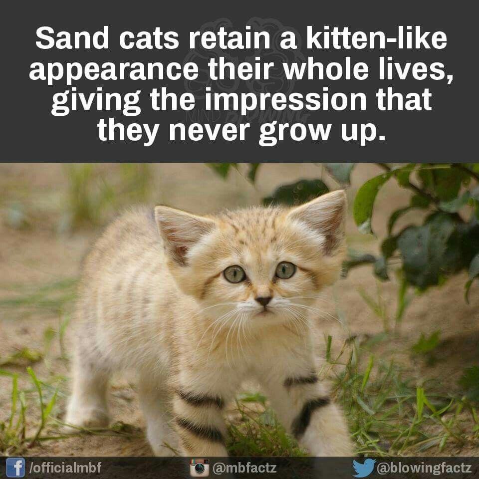 Sand cat Crazy animal facts, Weird animals, Animal facts