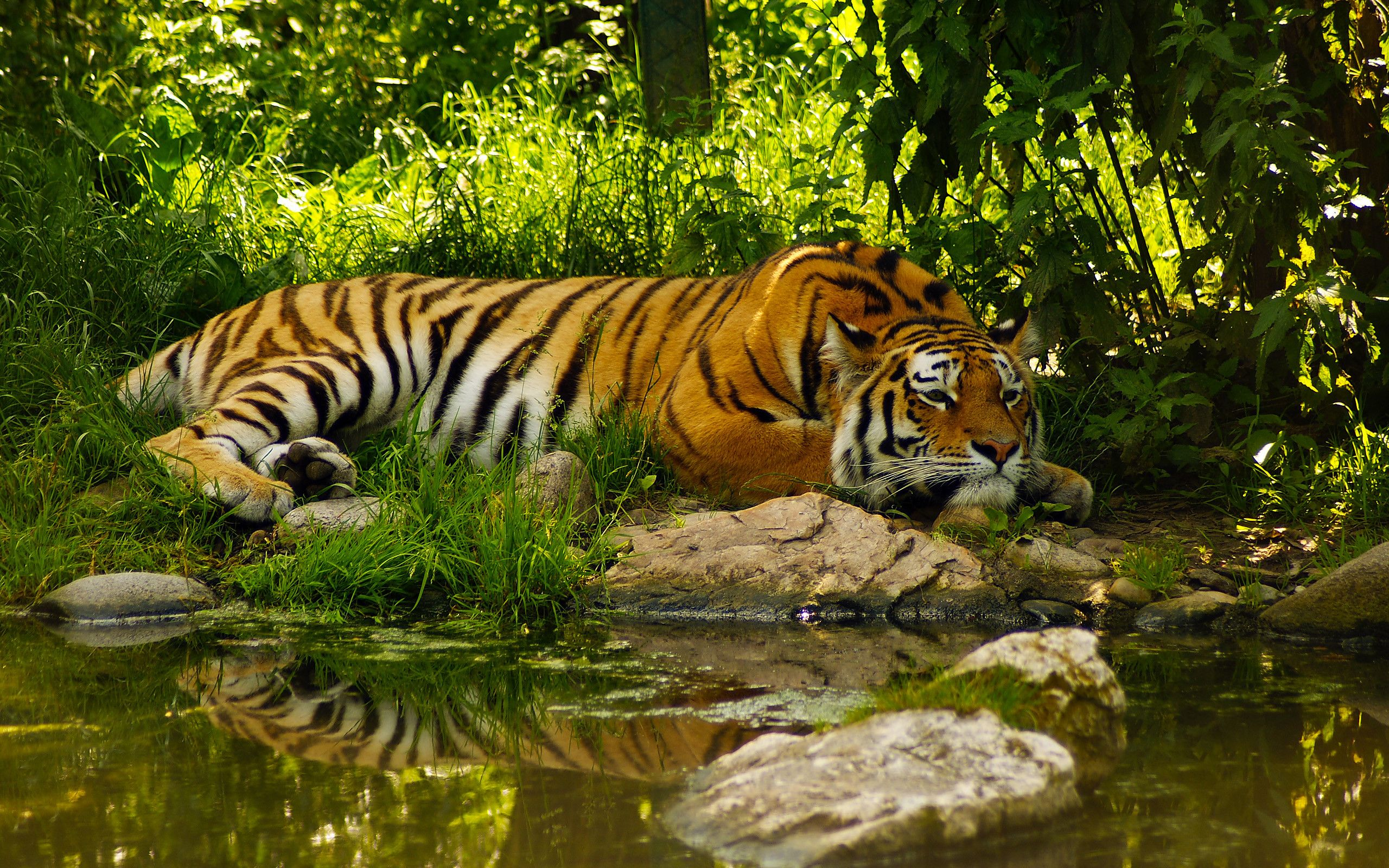 Nature Scenes With Animals Nature Scenes With Animals 2560x1600 Pixel Tiger Wallpaper Animal Wallpaper Nature Animals