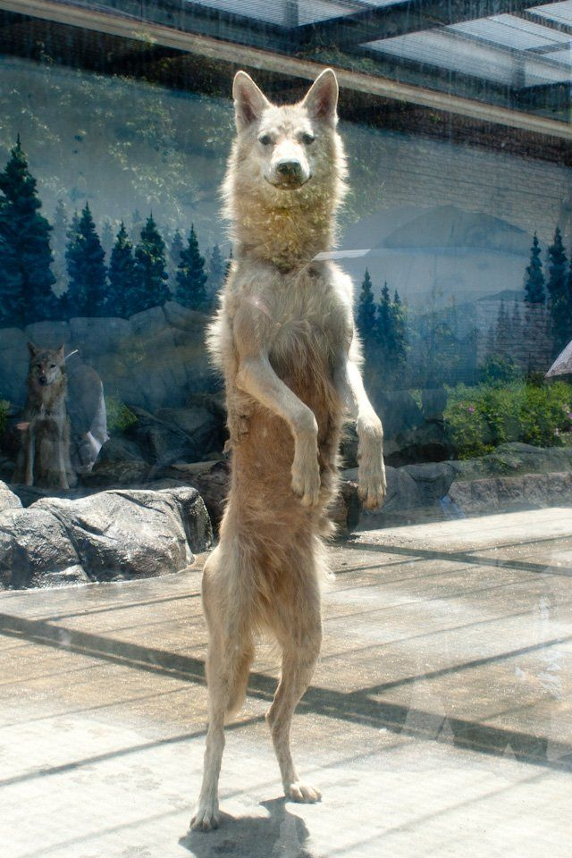 Wolf Standing On Its Hind Legs Looks Quite Odd Art Ideas Wolf