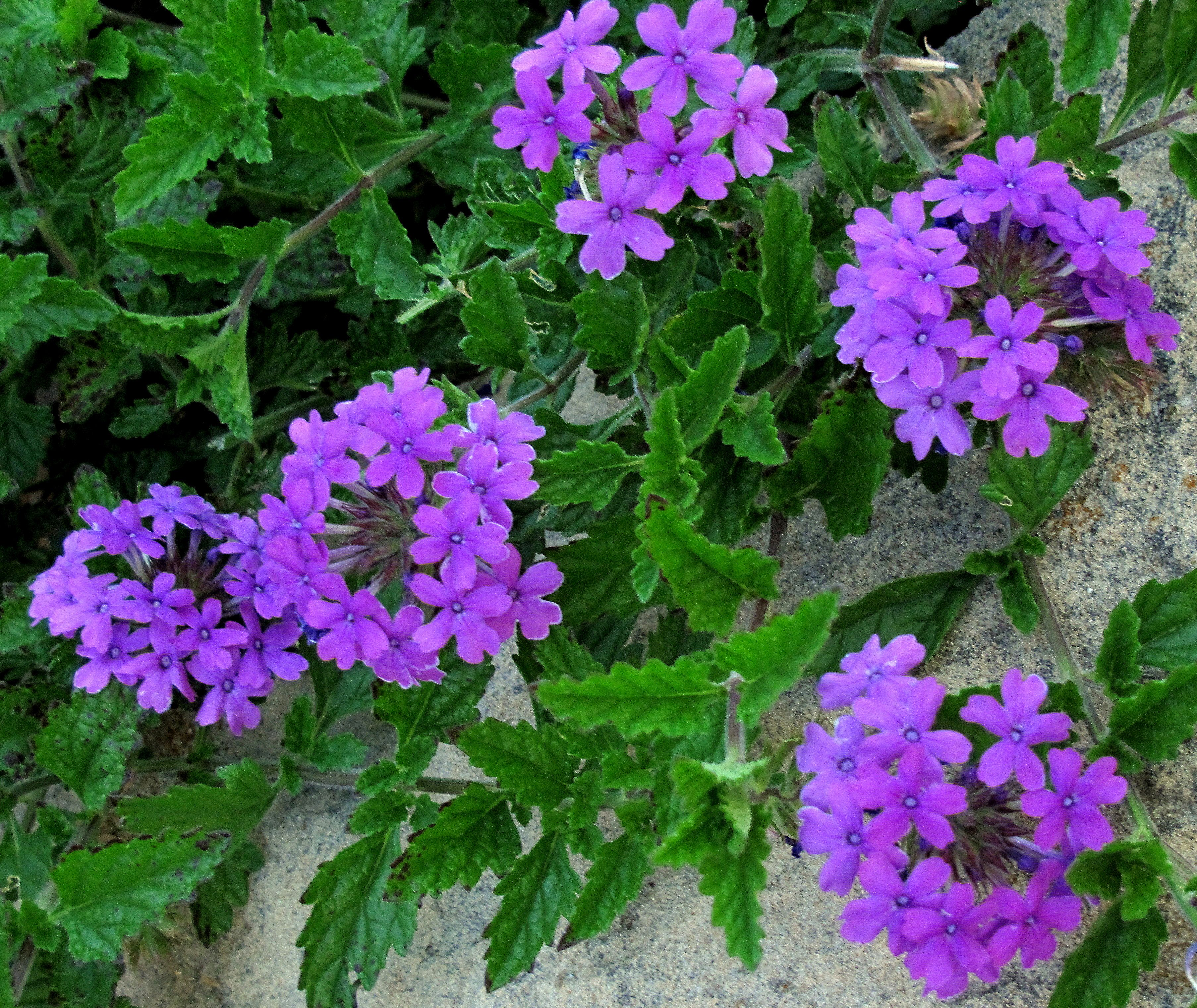 Verbena homestead purple easy to grow thrives in heat and drought tolerant secret garden - Heat tolerant plants keeping gardens alive ...