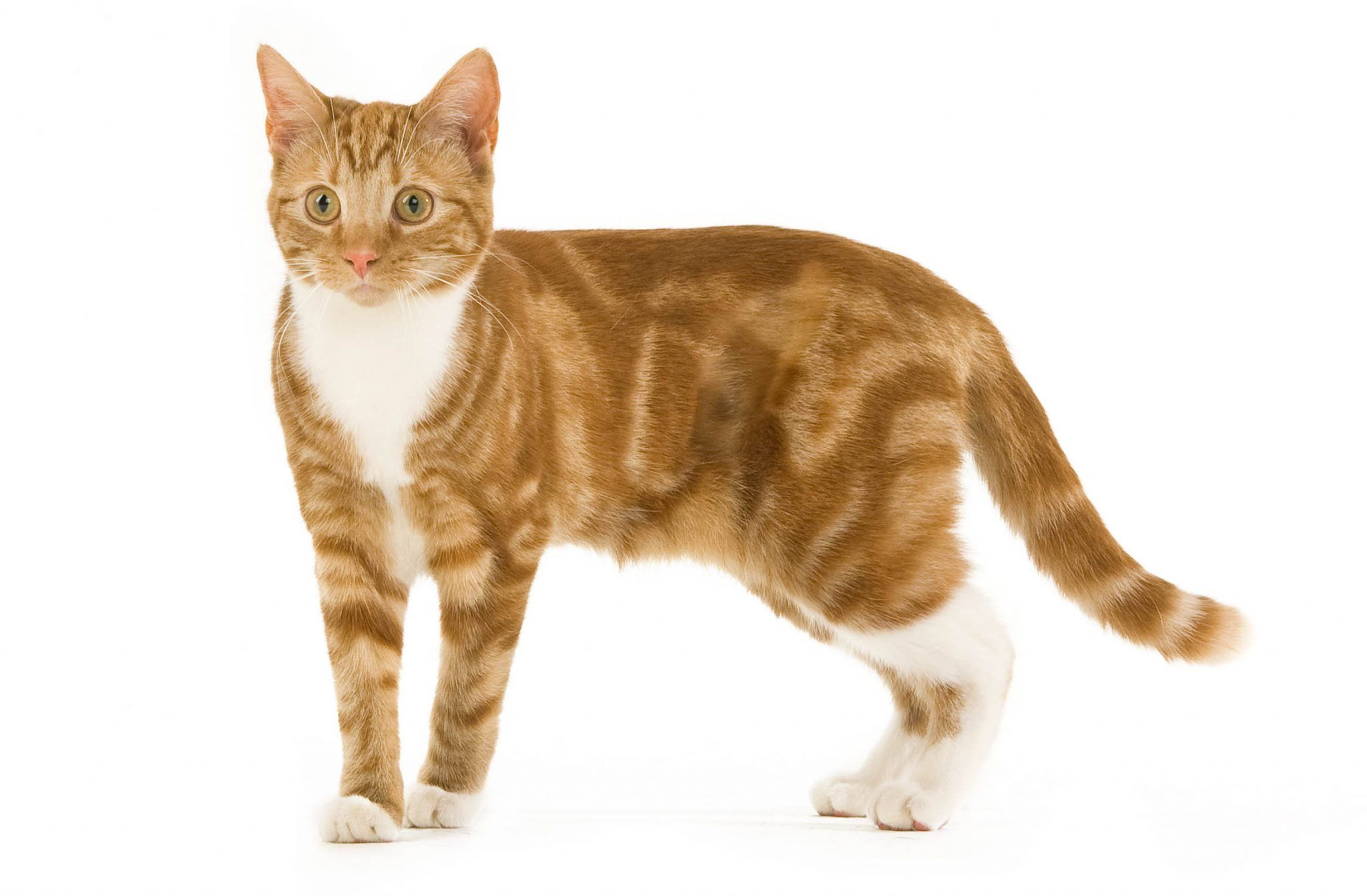 Tabby Cat Colours Markings And Breeds Of Tabby Cat 1 In 2020 Tabby Cat Silver Tabby Cat Tabby