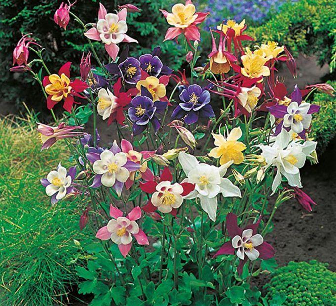 Columbine  Giant Mixed  Flower Seeds
