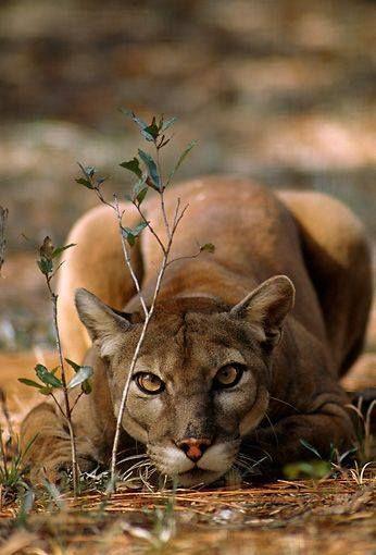 deepsoulfury: Mountain Lion