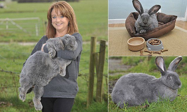 Meet Bluebell the giant rescue rabbit that thinks she's a