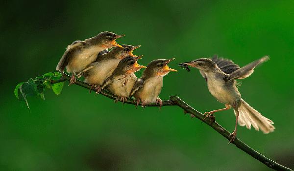 Rebusan Telur Puyuh Untuk Burung Ciblek Rajin Berkicau Hewan Burung Kecil Burung