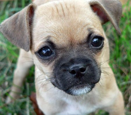 My Future Puppy Pug Terrior Cross Cute Dogs And Puppies Terrier Mix