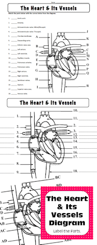 the heart & its vessels: label the parts of the heart & its vessels diagram  personal use onlydiagram of the human heart & its vessels for practice  and/or