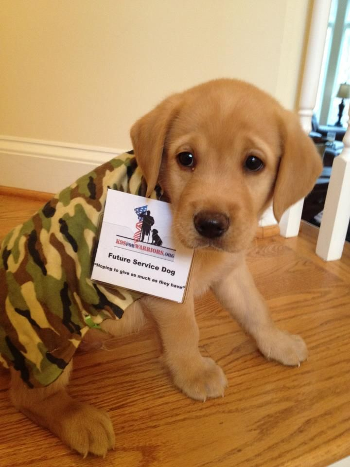 Shy Faced Service Puppy At K9s For Warriors Donated By