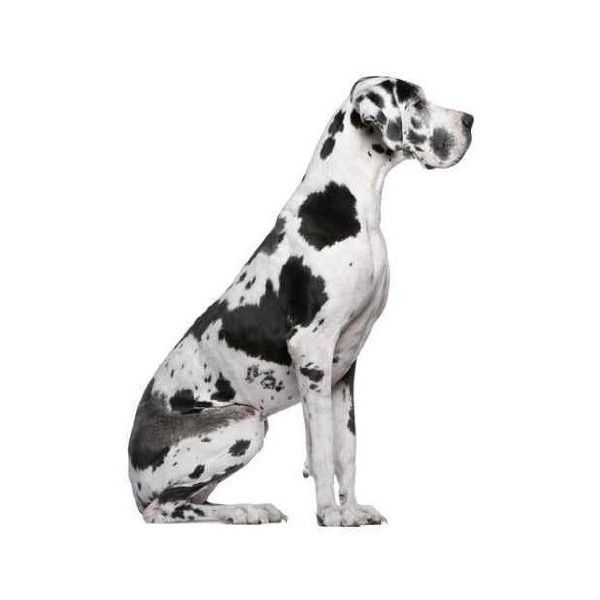 Your Puppy Pictures Dane Puppies Great Dane Dogs Dane Dog