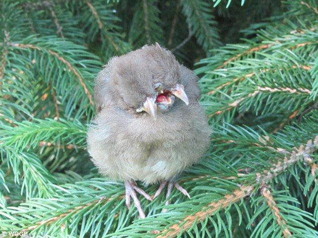 Bizarre: April Britt found this baby female Cardinal with two heads and three beaks perched on a branch in her backyard in Northampton, MASS