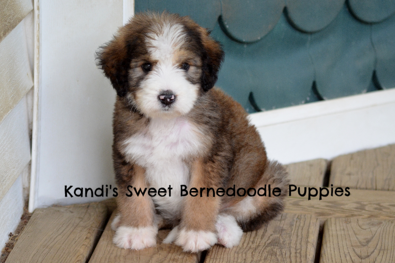 What A Teddy Bear Bernedoodle Puppy Bernedoodle Puppy