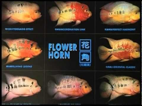 flowerhorn cichlid fish from Thailand - YouTube | Coffee ...