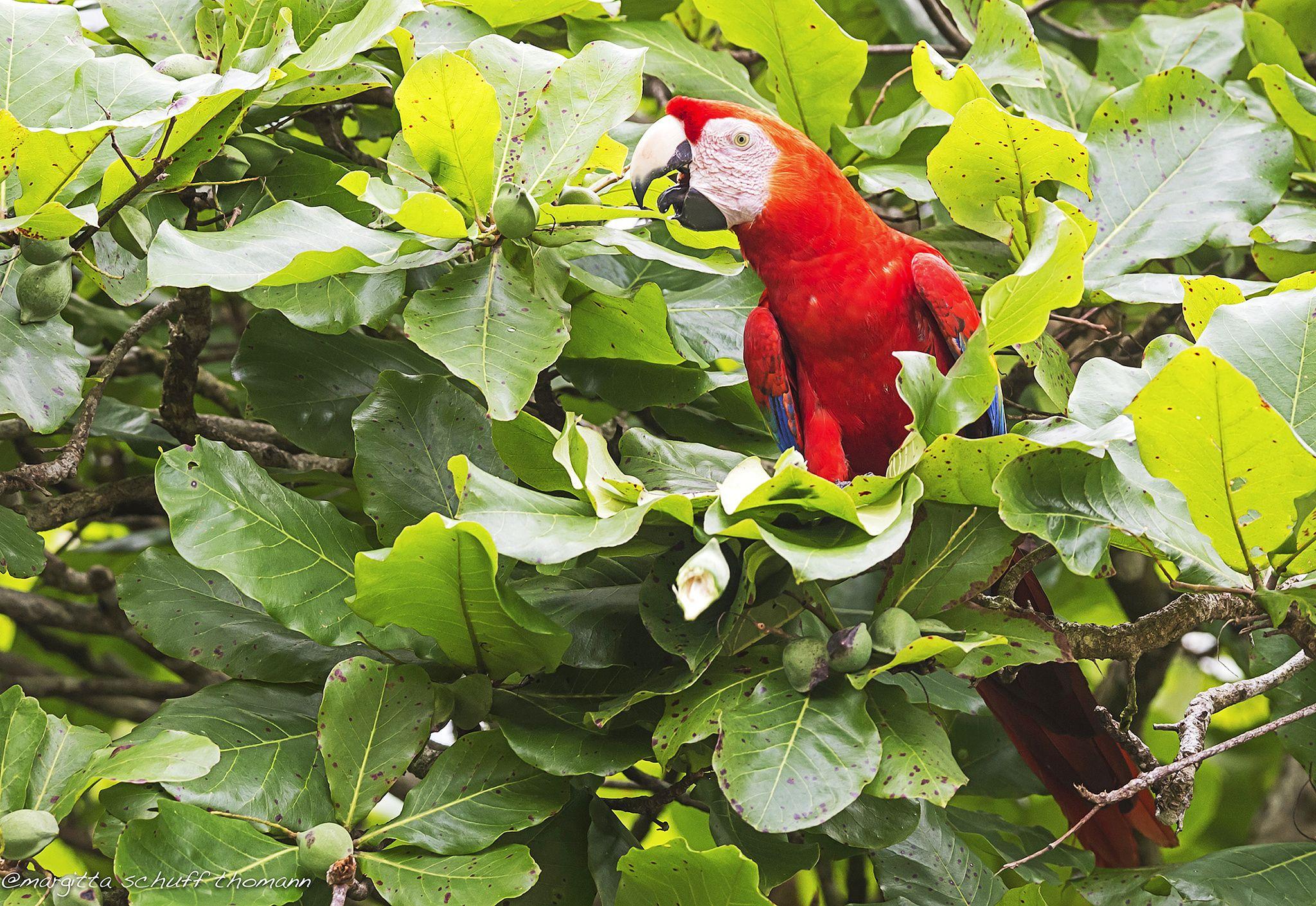 scarlet macaw .. by Margitta Thomann on 500px
