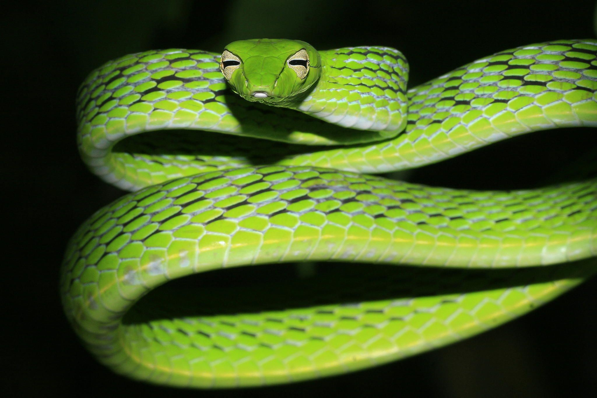 Oriental Whip Snake - One of the most common snakes found in