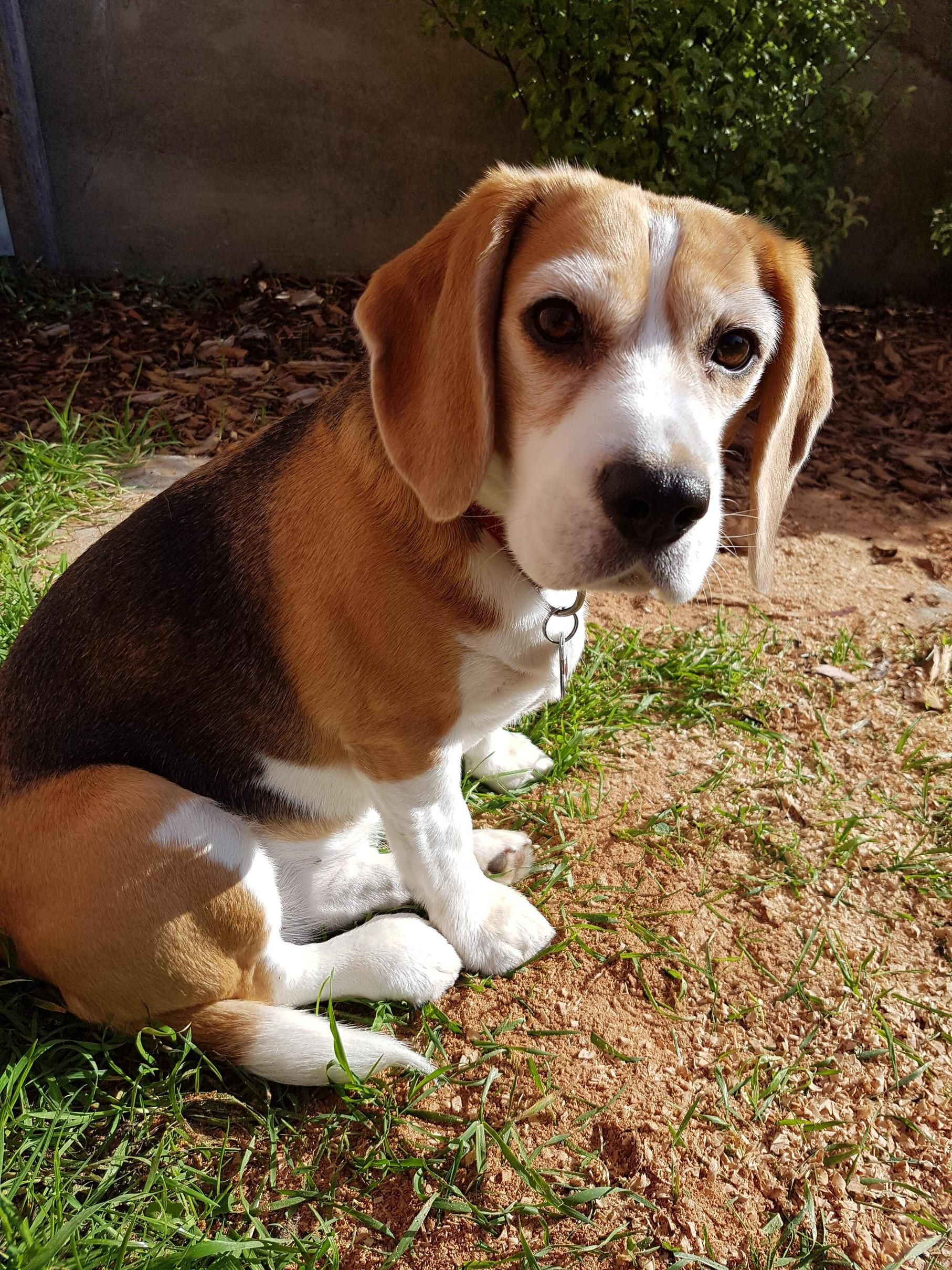 Leave Me Alone Can T You See I M Ready To Dig Beagle Dogs