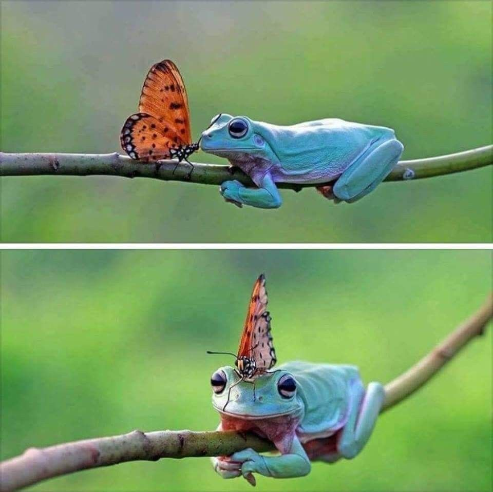 Freelance photographer Kurit Afsheen captured the meeting between a (dumpy)tree frog and an African queen butterfly outside his home in Tangerang Baten, West Java, Indonesia. #queenshats