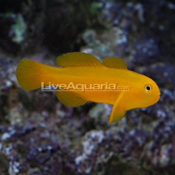 Saltwater Aquarium Fish For Marine Aquariums Clown Goby Yellow Saltwater Aquarium Fish Saltwater Aquarium Marine Aquarium