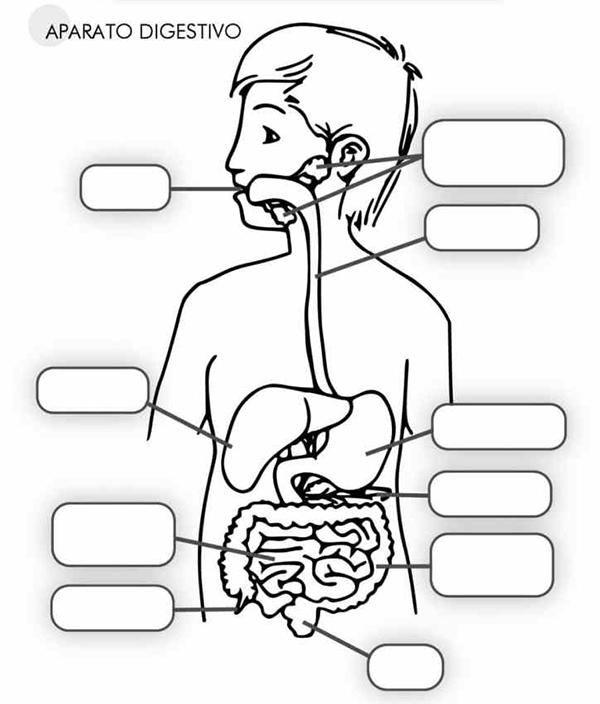 Aparato Digestivo Para Ninos Dibujo Buscar Con Google Aparatos Del Cuerpo Humano Sistemas Del Cuerpo Humano Cuerpo Humano Para Ninos