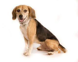 This Is Buck The Beagle He Needs A Home Please Repin And Help