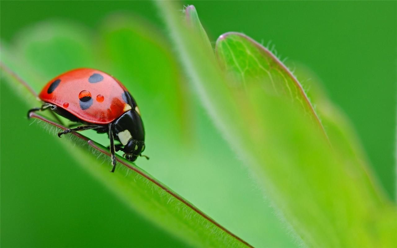lady bug glossy poster picture photo leaf leaves insects beetle