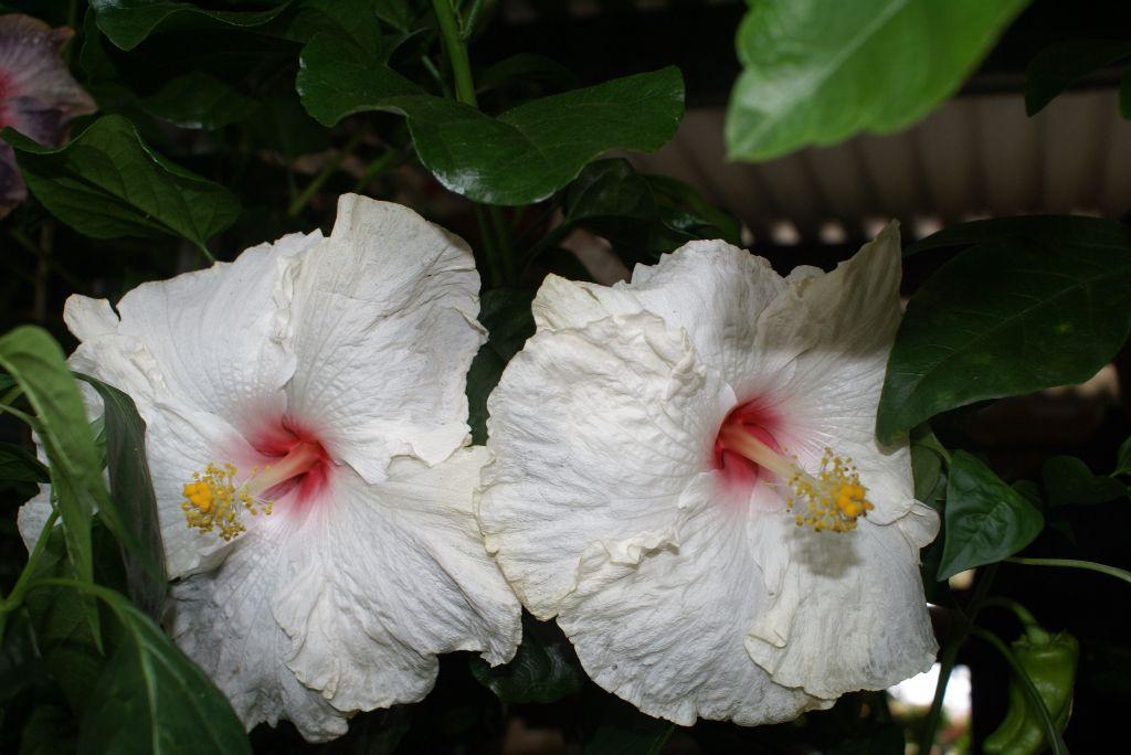 White hibiscus flowers   Home gardening pleasure   Pinterest   White ...