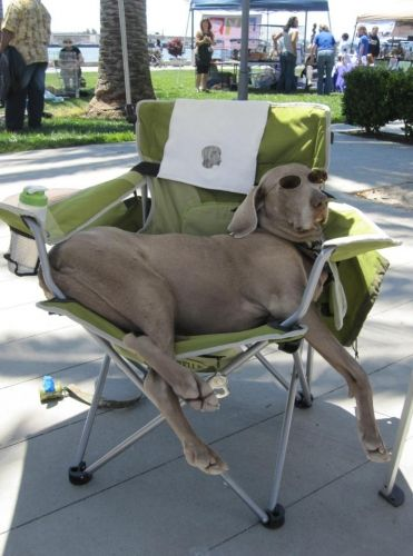 This Is A Typical Weimaraner They Really Do Think They Are Human