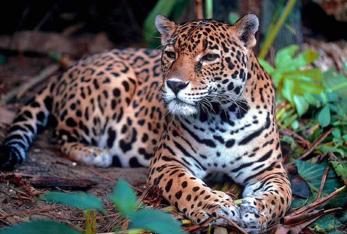 Jaguar Totem Spiritual Meaning Jaguar animal, Rare