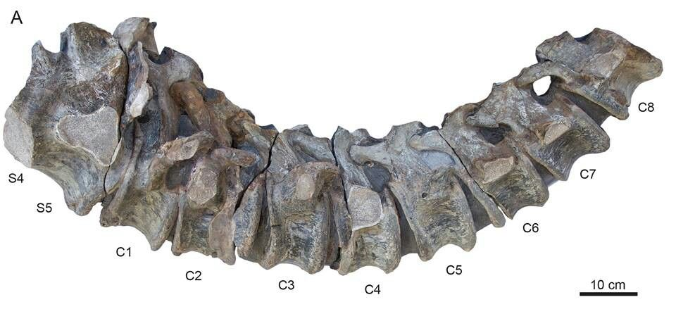 Tail vertebrae of a Padillasaurus, a brachiosaurid of South America