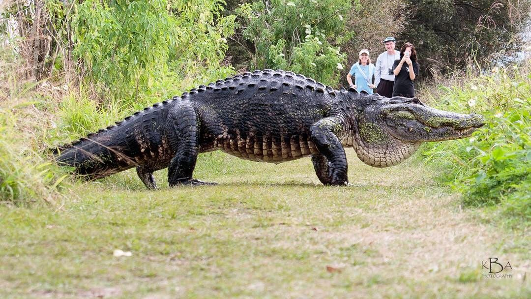 The Internet Is Freaking Out Over Florida S Latest Mega Gator Inverse Tiere Krokodile Picdump