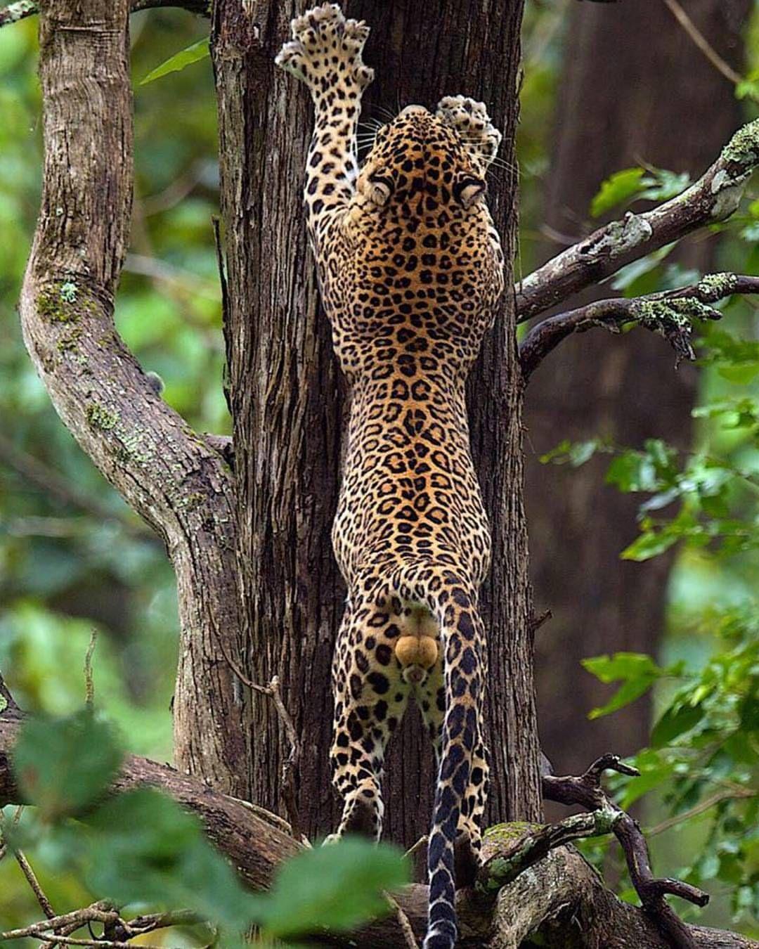 . Photo by @thomasvijayan Gearing up Leopard, Kabini, India #Wildlife #Leopard #Kabini #India #up #thomasvijayan