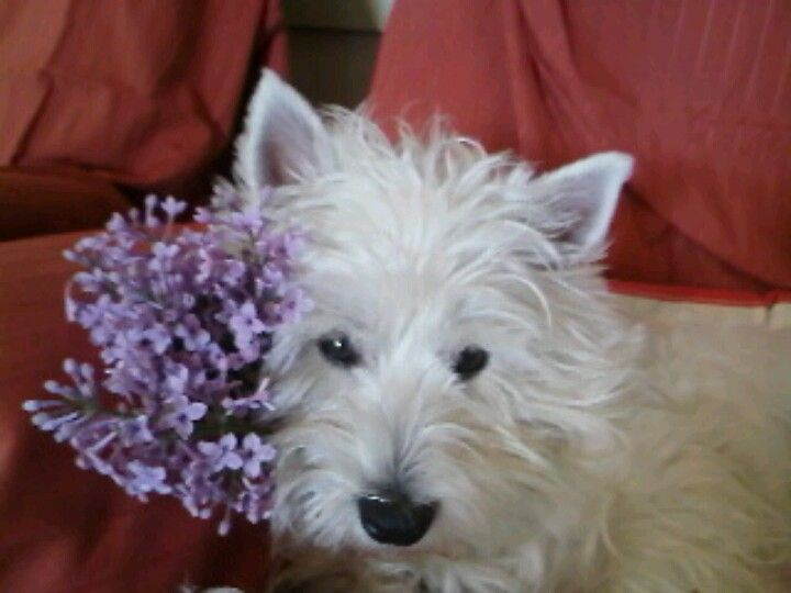Aggie in lilac