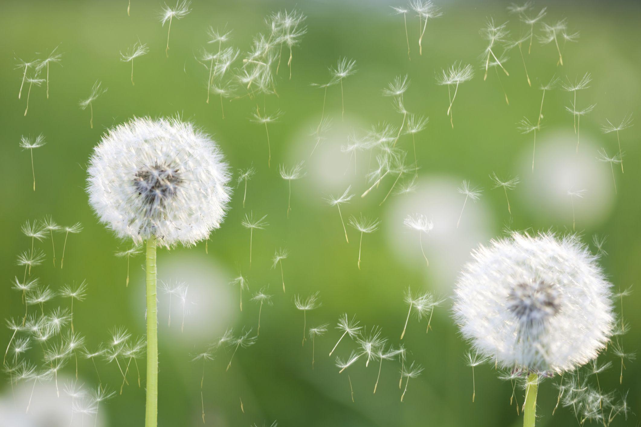 Beat Seasonal Allergies Naturally Dandelion Plant Flower Wallpaper Dandelion Flower
